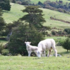 Thumbnail image for New Zealand: Lamb Squeezing