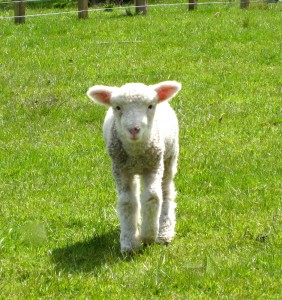 little-lamb-in-new-zealand