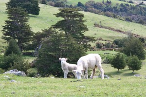Post image for New Zealand: Lamb Squeezing