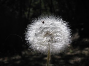 spider-on-dandelion