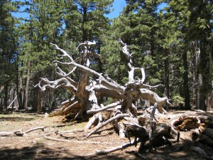 twisted-fallen-snag-in-the-forest