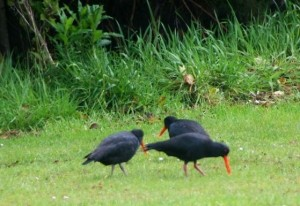 image-oystercatchers-new-zealand