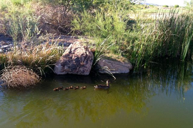 mother-mallard-and-duckings